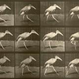 Leptopitlos dubius - Eadweard Muybridge